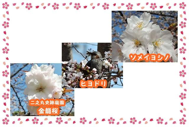 Frame_sakura_yoko2_4_2